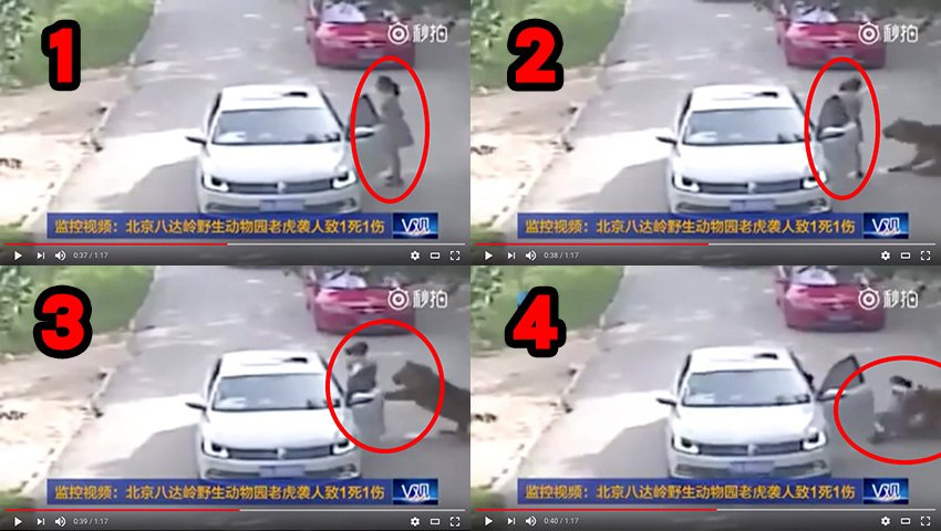 2016年12月31日,被北京八達嶺老虎咬傷的女子的父親表示,對於網絡上的罵聲,他們「不在乎,也不想再解釋」,並讓網民換位思考。而網民則回應稱老父親應反省,不應一味護任性女。(視像擷圖)