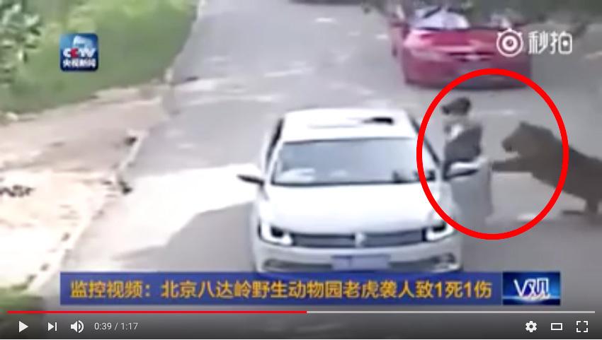 趙女士去年被八達嶺老虎襲擊的瞬間。(網絡圖片)