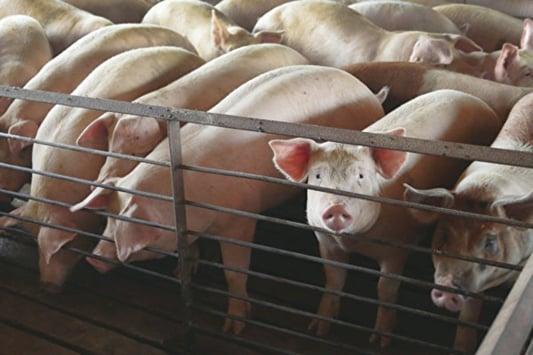 自去年底,非洲豬瘟在各地蔓延,當局未採取有效防控,已有9省市曝出疫情。(Getty Images)