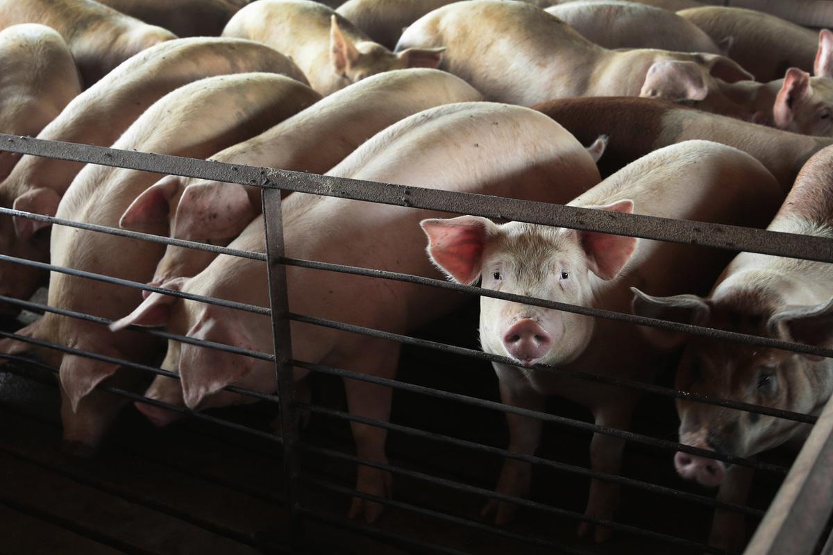 隨著大量外部資金進入養豬產業,中國生豬的產能將快速增加,豬肉價格可能出現較大的漲跌波動。圖為豬隻示意圖。(Scott Olson/Getty Images)