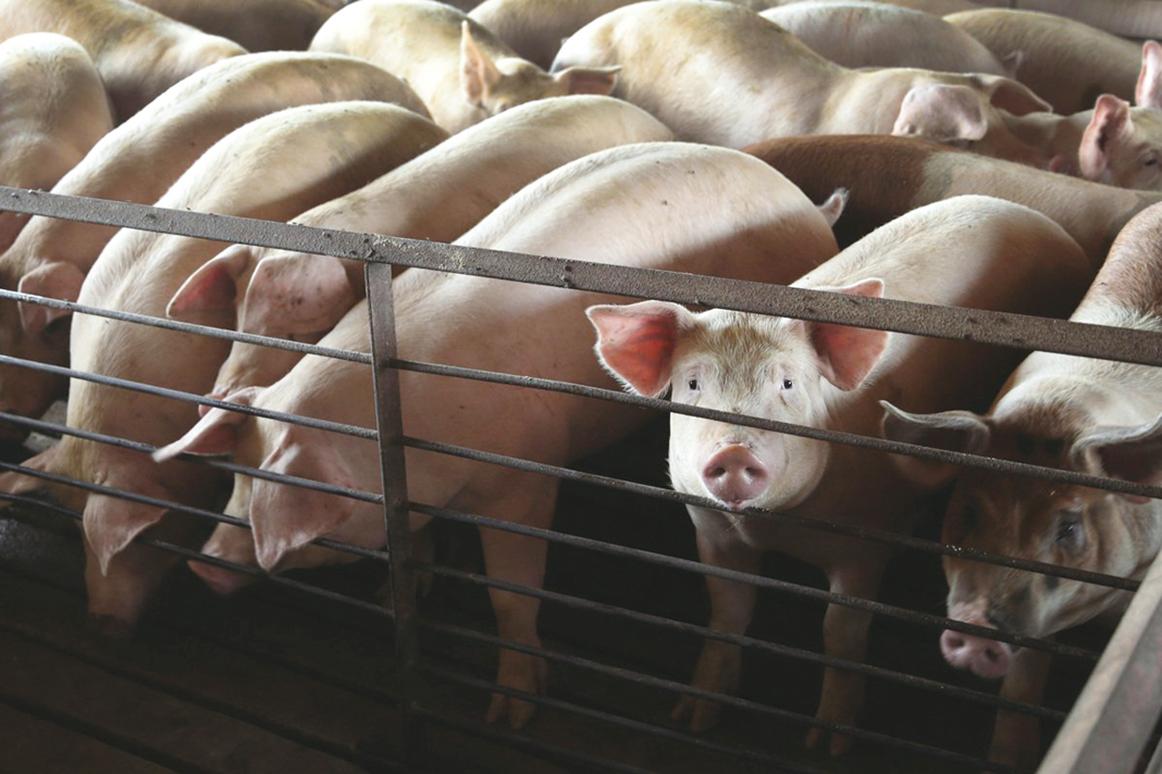 隨著大量外部資金進入養豬產業,生豬產能快速增加,豬肉價格出現較大漲跌波動。圖為豬隻示意圖。(Scott Olson/Getty Images)