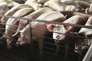陸房地產下行 萬科轉型養豬