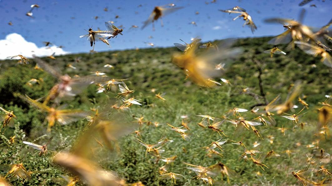 專家指出,6月蝗災或入侵中國,帶來糧食危機。(Getty Images)