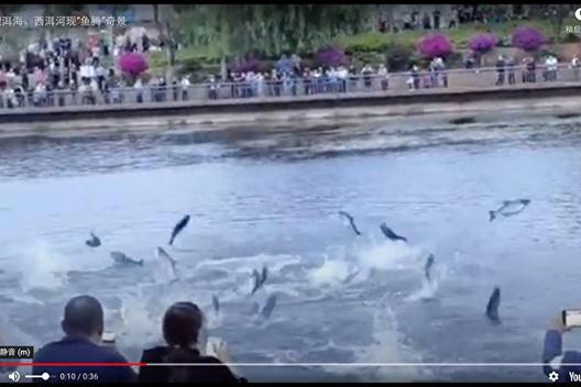 南大理洱海、西洱河6月15日出現「魚騰」奇景,吸引大量市民圍觀。(影片截圖)