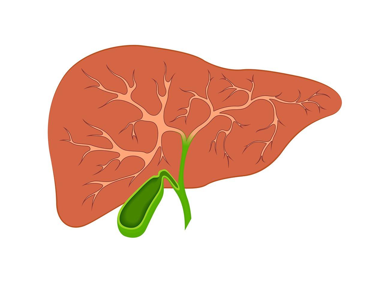 肝臟和膽囊(fotolia)