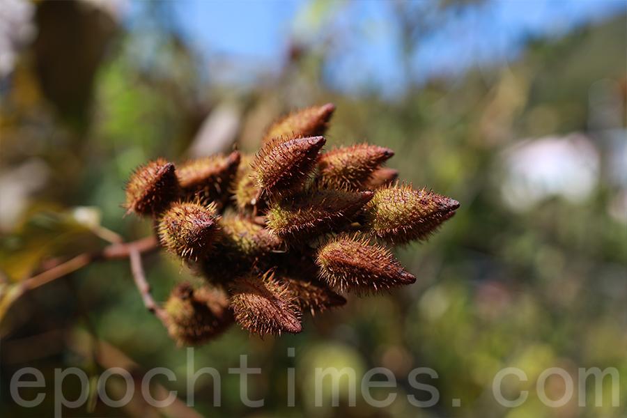 原產於南美洲的胭脂樹(Annatto)結出的果實。(陳仲明/大紀元)