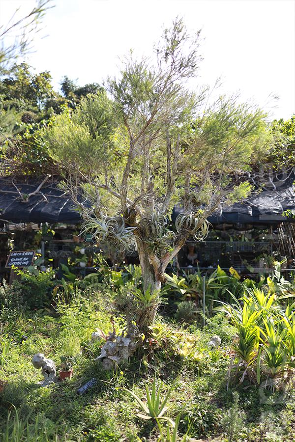 香草原內種的澳洲茶樹可以製作成花水,有助於抗菌。(陳仲明/大紀元)