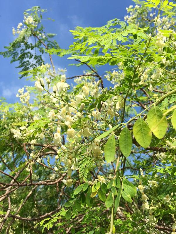 被稱為「奇蹟之樹」的辣木有多種藥用功能。(陳仲明/大紀元)
