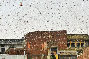 大批蝗蟲入侵印度 農作物或受影響
