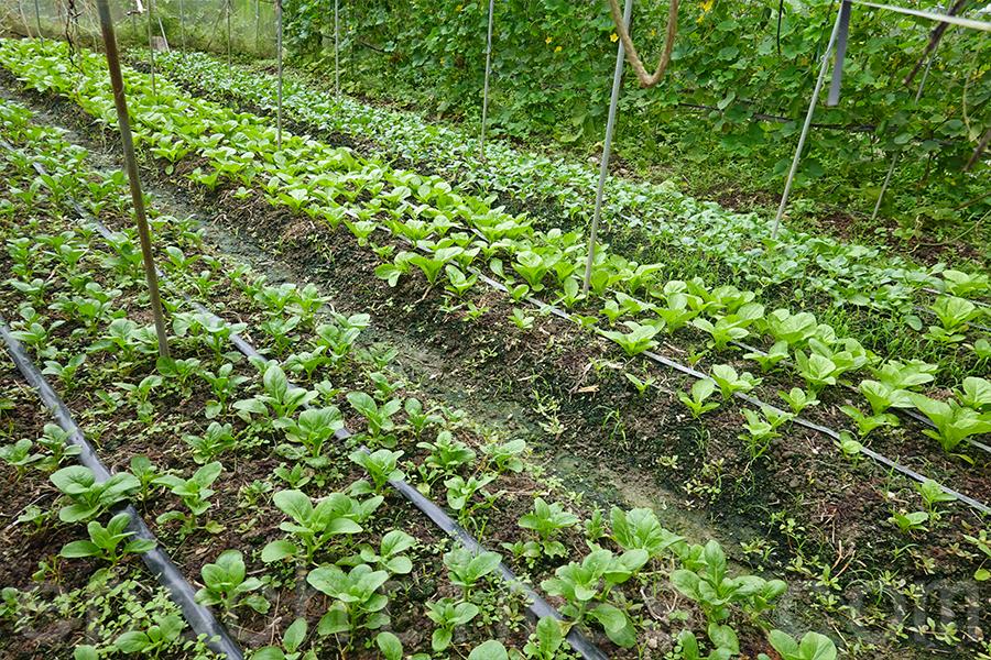 馬寶寶社區農場生產的蔬菜。(曾蓮/大紀元)
