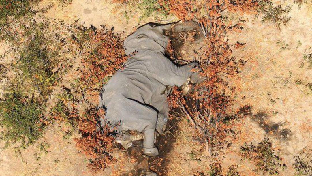 非洲國家波札那(Botswana),近期以來發生大規模象群離奇死亡事件。(取自推特)