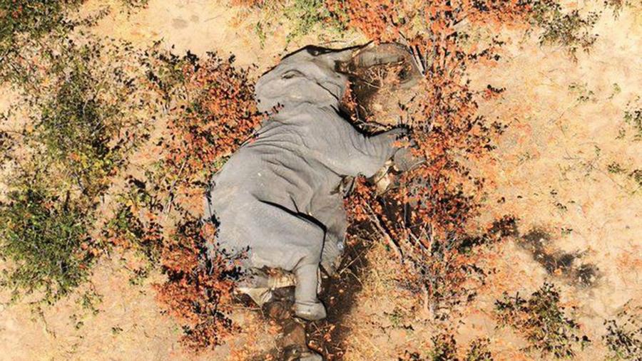 波札那驚傳逾350頭大象神秘死亡