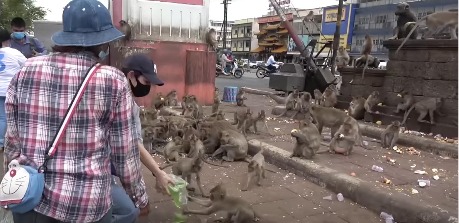 泰國獼猴群。(影片截圖)