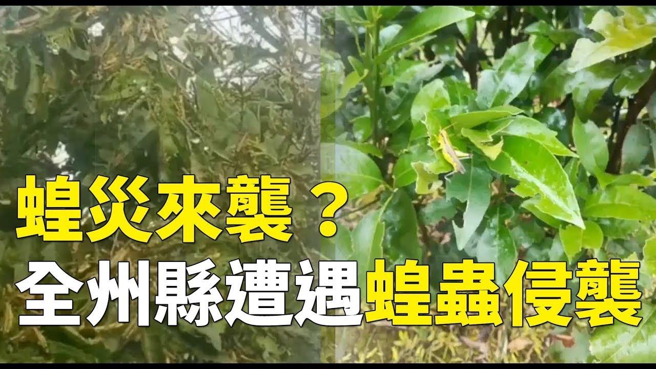 沙漠蝗蟲突然降臨桂林全州縣。(石濤聚焦)