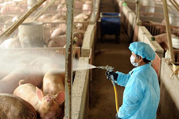 研究者們在中國屠宰場的工作人員身上,發現了豬流感的新病毒株。研究人員擔心,若病毒變異後,使其變得容易在人與人之間傳播,恐引發新一波疫情。(SAM YEH/Getty Images)