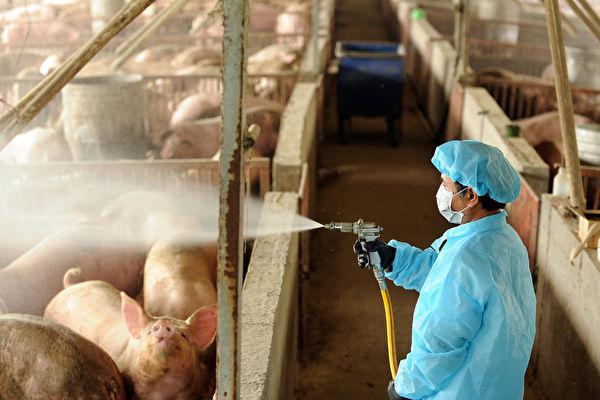 中國專家研究新G4豬流:高度傳染 人類幾無免疫力