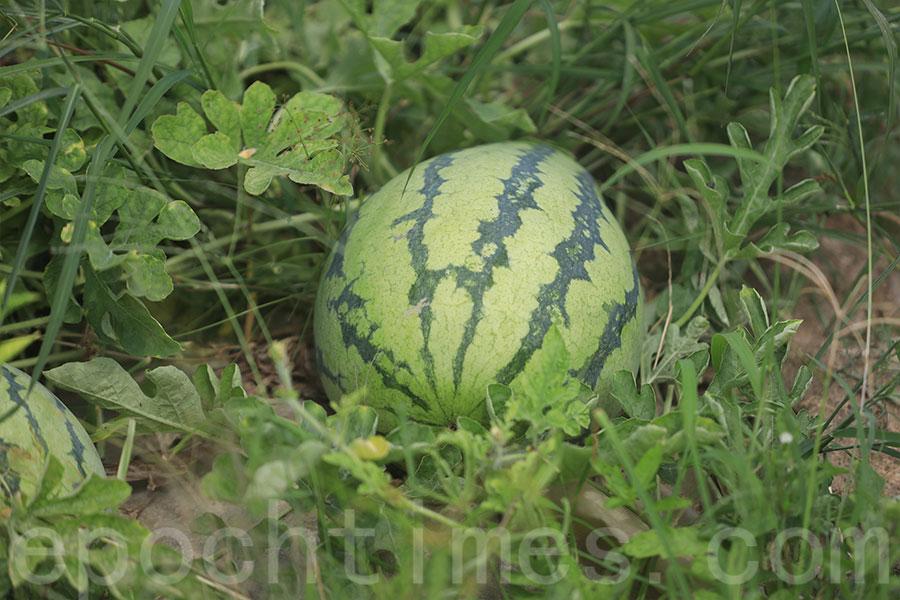 信芯園內種植的西瓜為台灣品種。(陳仲明/大紀元)
