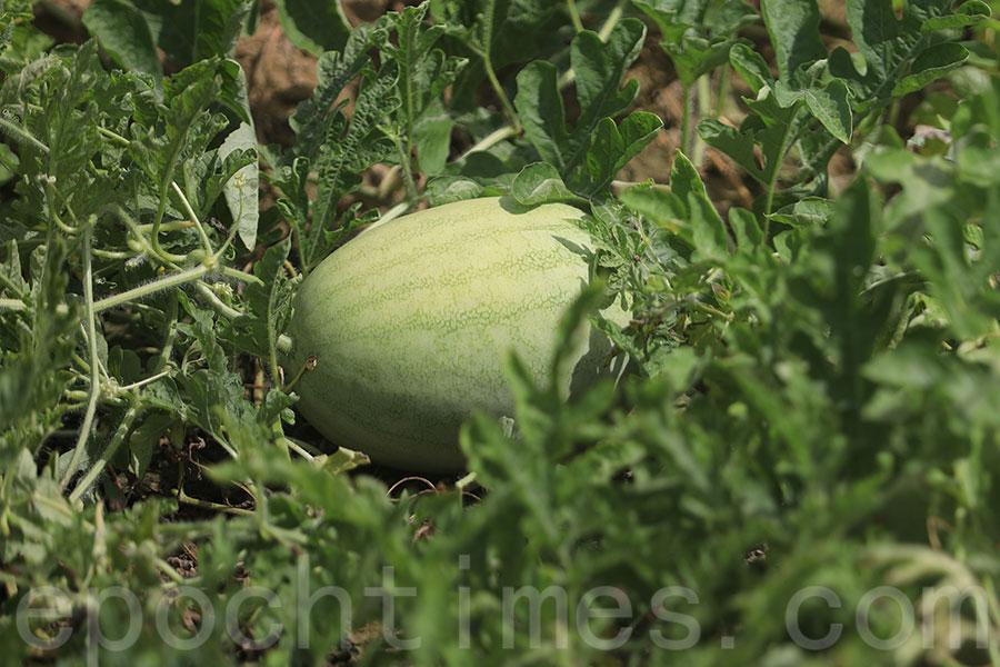 信芯園內種植的西瓜合共有4個台灣品種。(陳仲明/大紀元)