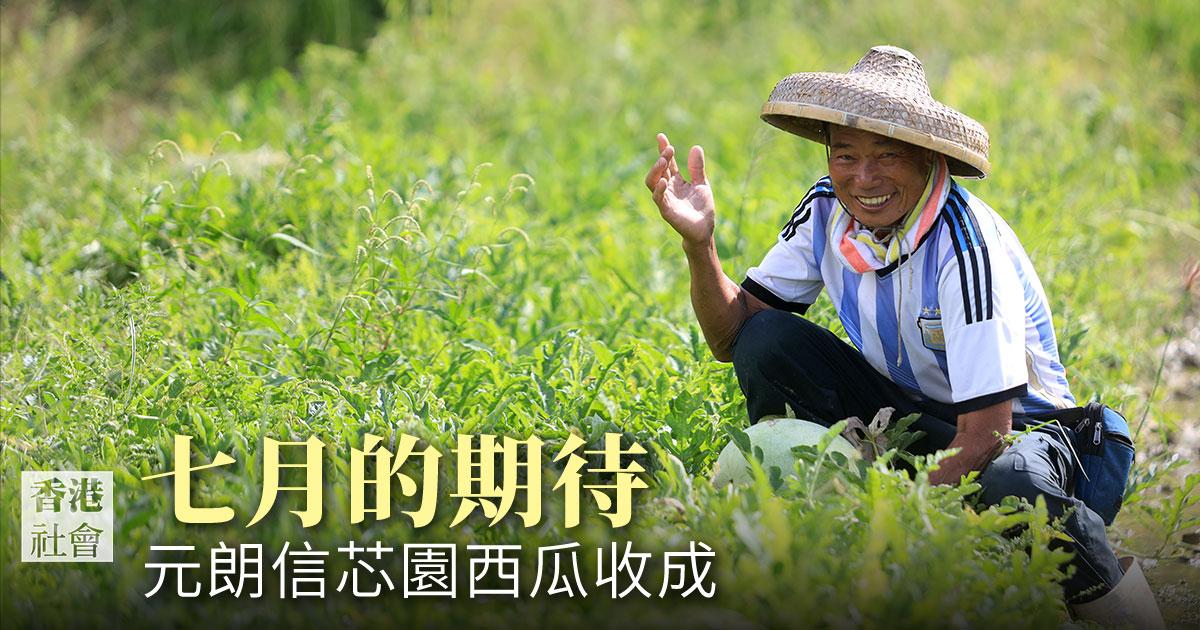 元朗新田信芯園種植的西瓜於七月份收成。除了讓客人現場品嚐外,亦設有「西瓜導賞團」,讓客人入內參觀並親手收割西瓜。(陳仲明/大紀元)