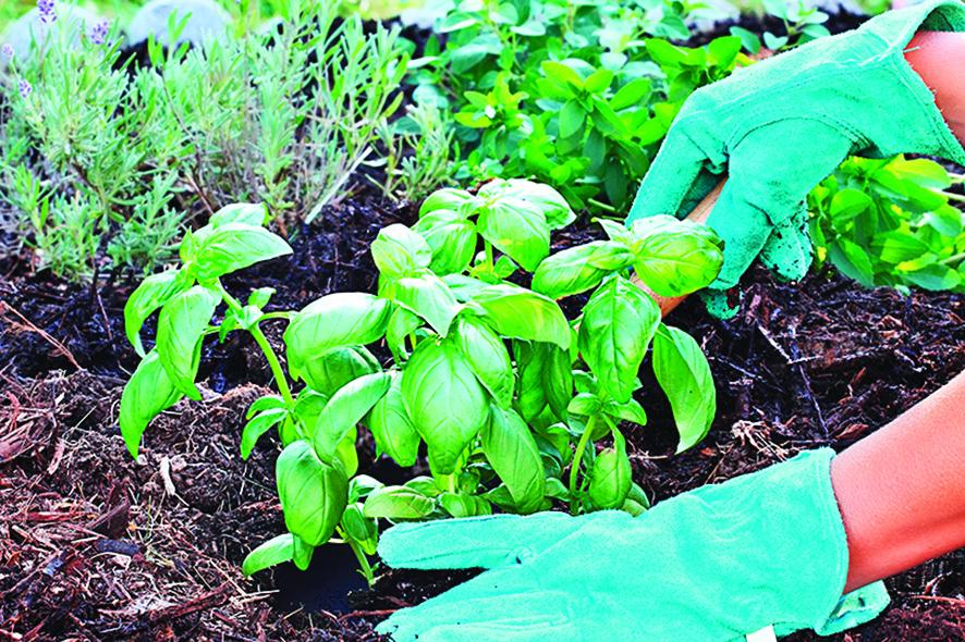 如果空間許可,將香草植物種植在花園中也很適合。