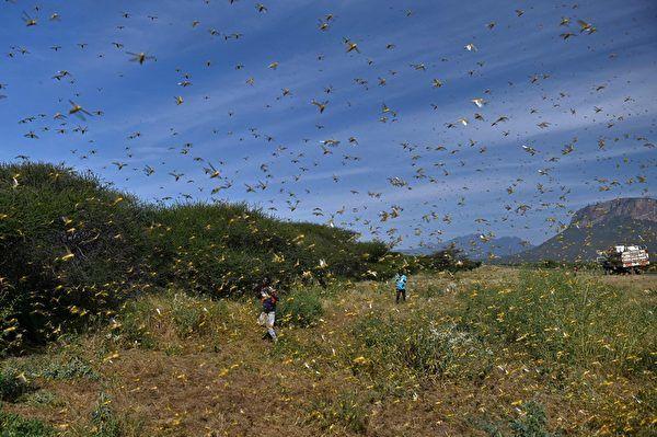 7月3日湖北襄陽、雲南普洱市江城區等地出現的大量蝗蟲,厚厚鋪滿了地面,天空中蝗蟲漫天飛舞,而廣西桂林全州縣也遭蝗蟲啃食。示意圖 (TONY KARUMBA/AFP via Getty Images)