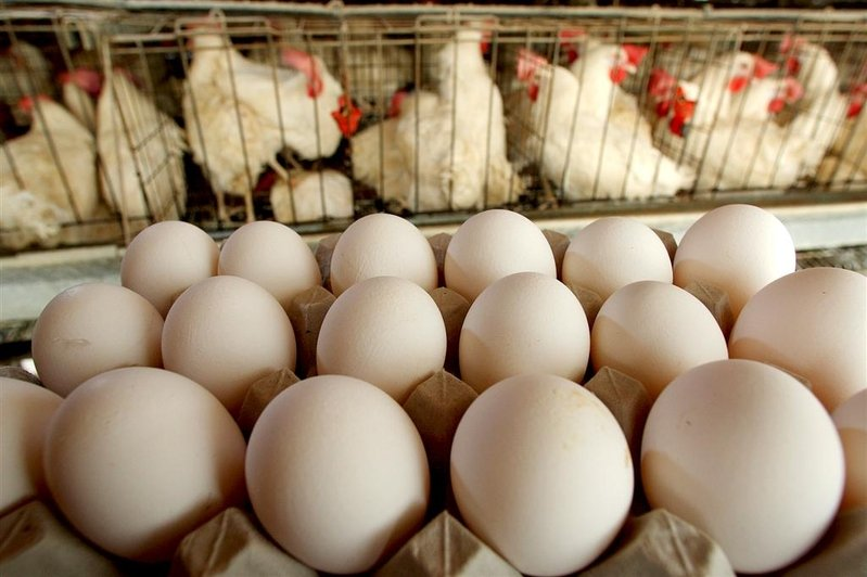 中國雞蛋價格持續下跌五個月 破成本賣一斤虧八毛