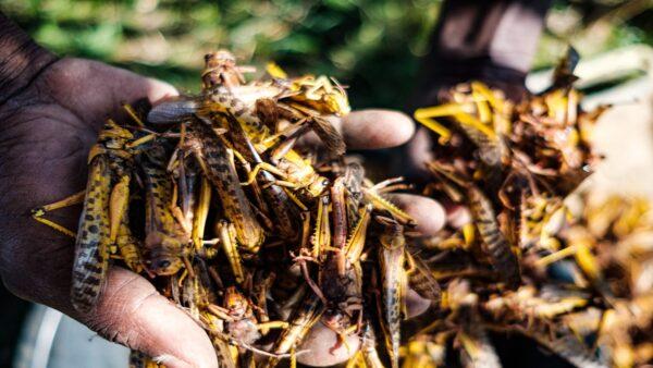 除了外來蝗蟲大軍入侵。中國多省相繼出現本土蝗蟲災害。( Getty Images)
