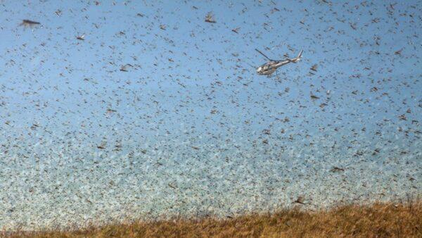 9日,雲南普洱市林業和草原局證實,蝗蟲持續入侵態勢嚴重。目前已有近10萬畝林農地受害。(RIJASOLO/AFP via Getty Images)