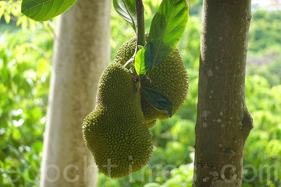 橫洲三村的大樹菠蘿。(曾蓮/大紀元)