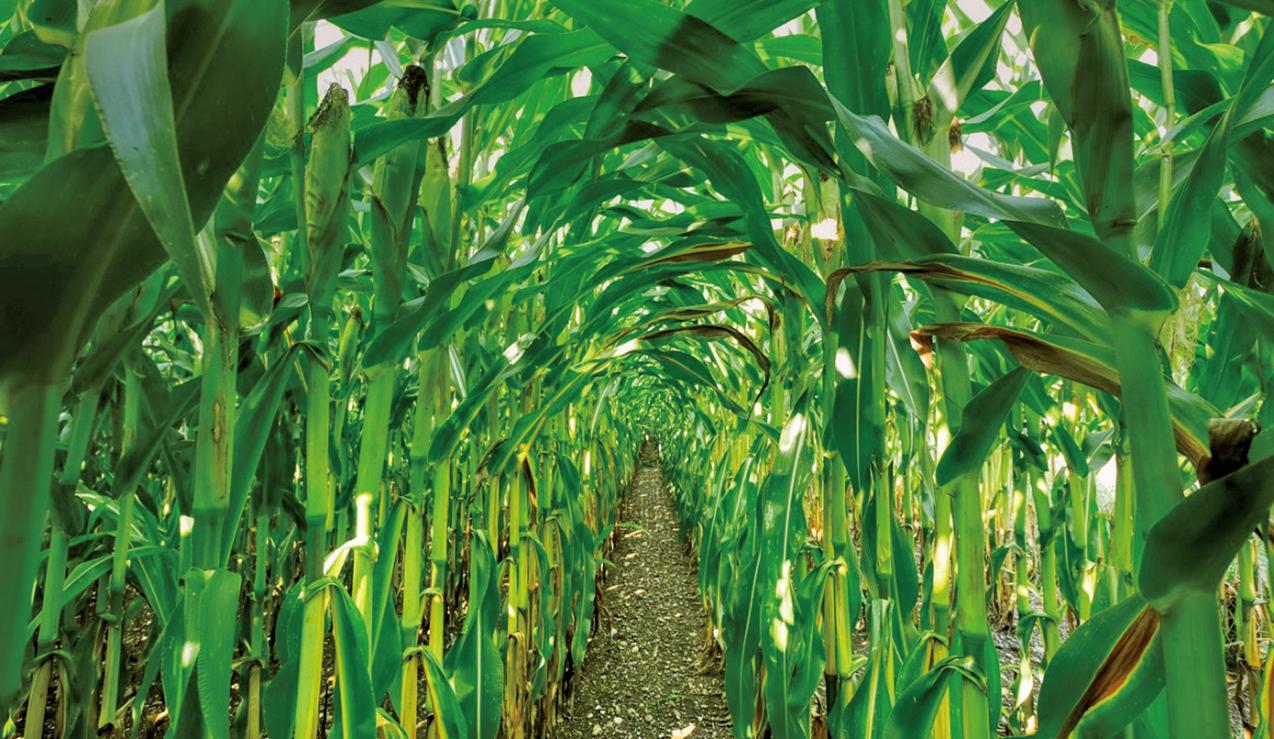 近日,大陸8月份粟米的庫存拉響警報,政府粟米庫存或於8月底耗盡。中國糧食危機一觸即發。(getty image)