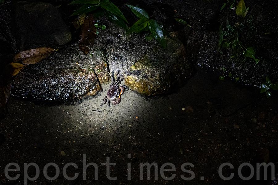 夜晚才出沒的疑似新品種的南海溪蟹。(陳仲明/大紀元)