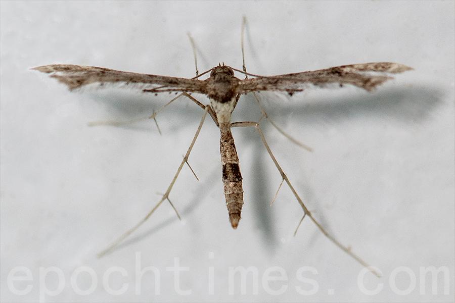 近年,陳錦偉每天晚上在天台開燈吸引不同的飛蛾,拍照分析這些飛蛾的品種,圖為型態奇特的鳥羽蛾。(受訪者提供)