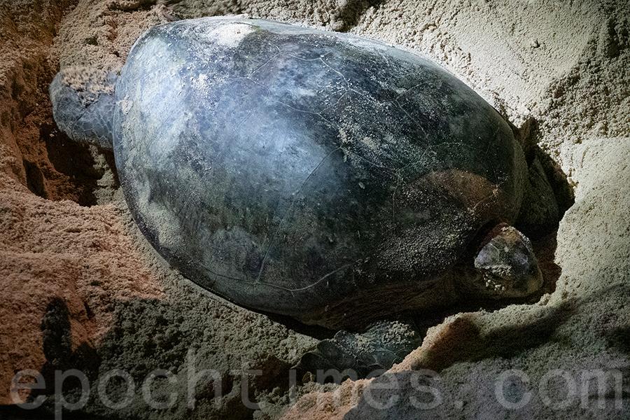 陳錦偉曾經在菲律賓拍攝到綠海龜。(受訪者提供)