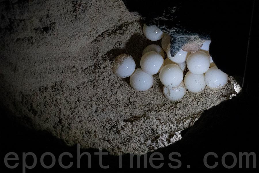 陳錦偉曾經在菲律賓拍攝到綠海龜龜蛋。(受訪者提供)