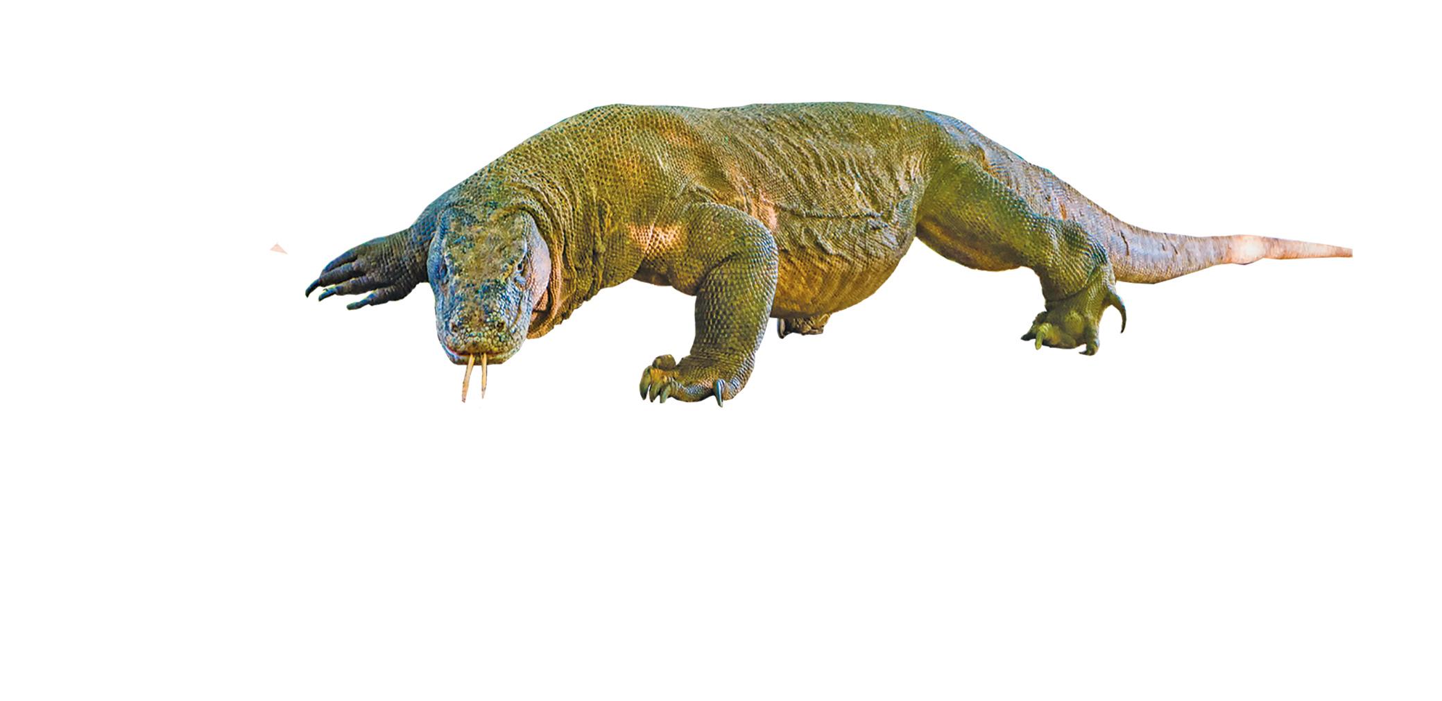 世界上體型最大的科莫多巨蜥。