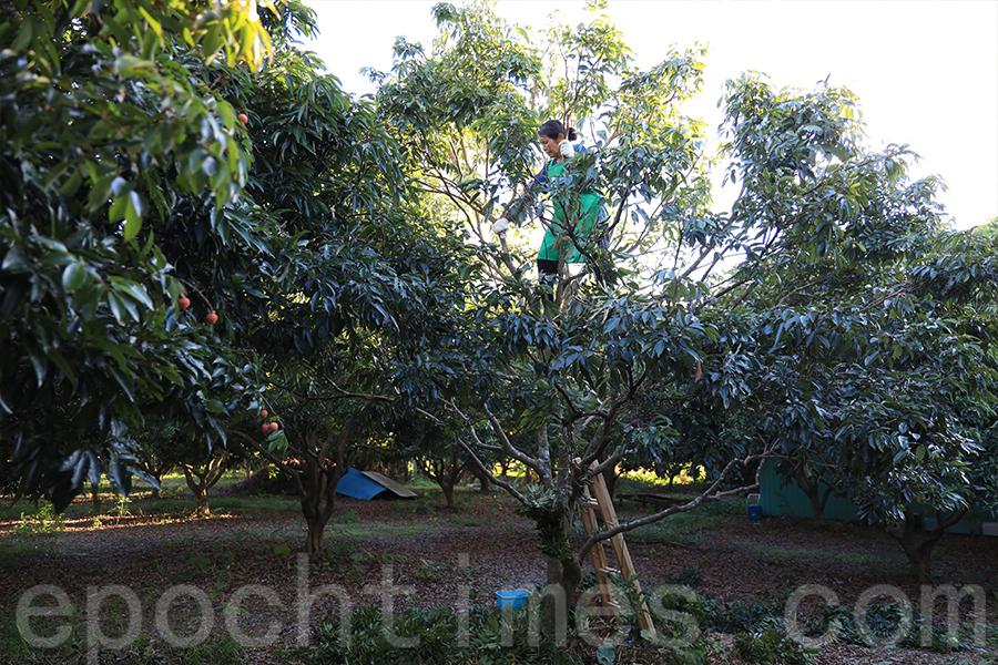 因為潘媽媽要爬樹摘果實,潘爸爸擔心她要越爬越高,所以他很堅持每個月都會鋸樹。(陳仲明/大紀元)