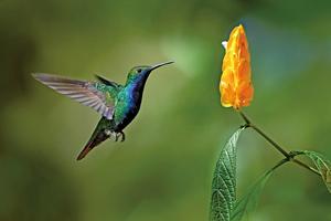 蜂鳥可看見紫色和紫外色