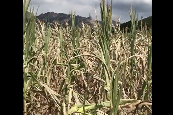 中國東北的遼寧省遭遇69年來最旱夏天,農作物大面積絕收。(影片截圖)