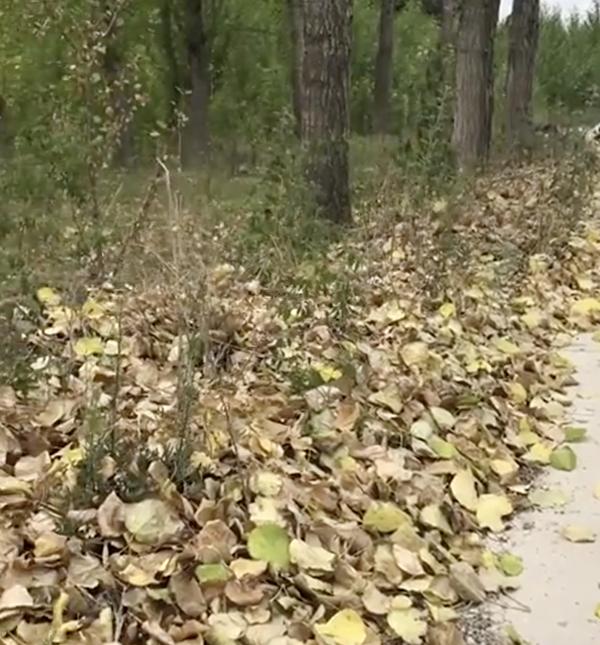 遼寧錦州,樹木因缺水而枯黃掉葉。(影片截圖)