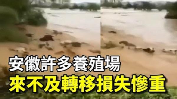 王家壩開閘蓄洪後,大多數畜牧場和家禽養殖沒地方轉移,在洪水巨浪沖擊中損失慘重。(影片截圖/大紀元製圖)
