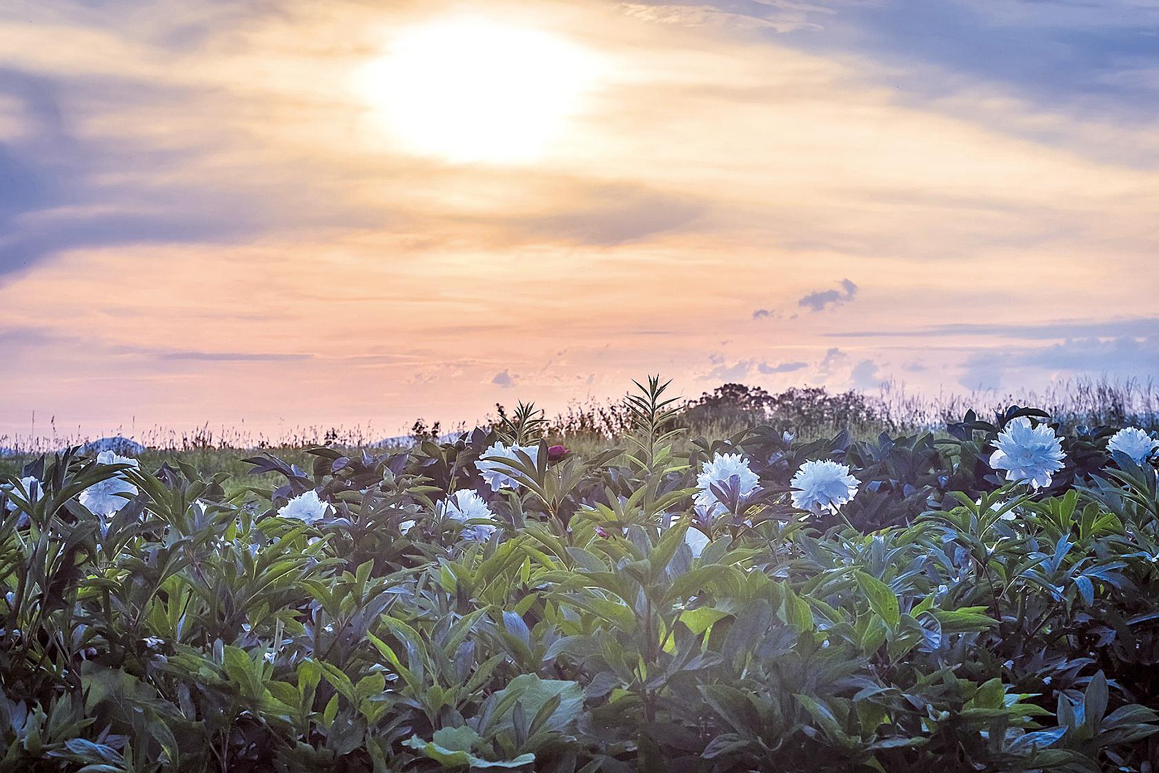 一個國度一個花神;北非、西亞的革命之花紛紛怒放,這場花卉革命正無聲無形的影響著中國(Getty Images)