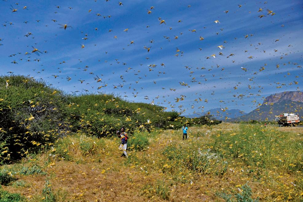 近日,蝗災肆虐雲南,粟米等植物受災嚴重。圖為示意圖。(Getty Images)
