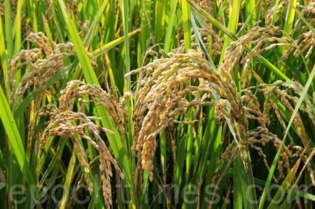 立秋時,一期稻穀也成熟了!(李家翔/大紀元)