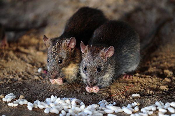 內蒙古包頭市日前出現腸型鼠疫死亡病例,官方8月6日發佈鼠疫防控三級預警。圖為示意圖。(Sanjay Kanojia/AFP via Getty Images)