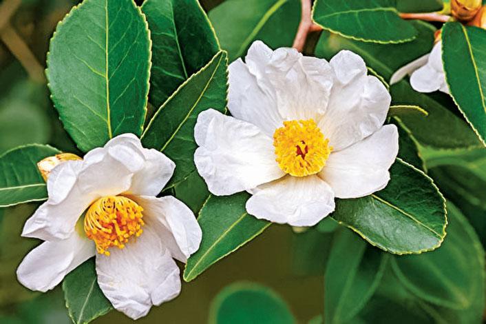 小果種油茶樹有著金黃色花蕊的白花。(Shutterstock)