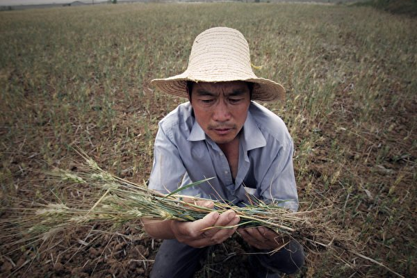 中共糧食和物資儲備局罕見承認,夏糧小麥收購同比減少了近千萬噸,專家分析大陸近三億人將缺口糧。圖為資料圖。(ChinaFotoPress/Getty Images)