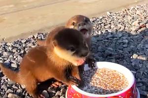 超可愛!兩獲救水獺幼崽開心享受大餐