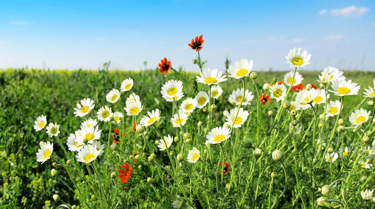 秋季最具代表的花就是菊花,具有疏散風熱,清熱養肝的功效。(fotolia)