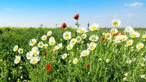 秋季常見4種花卉 泡茶、煮粥養生最佳首選