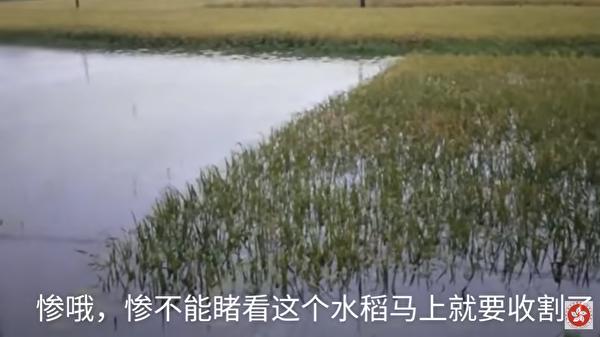 圖為江西省一處水稻田,即將要收割卻被洪水侵襲。(網絡視頻截圖)